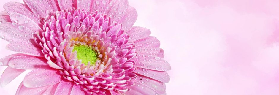 misted flower on pink