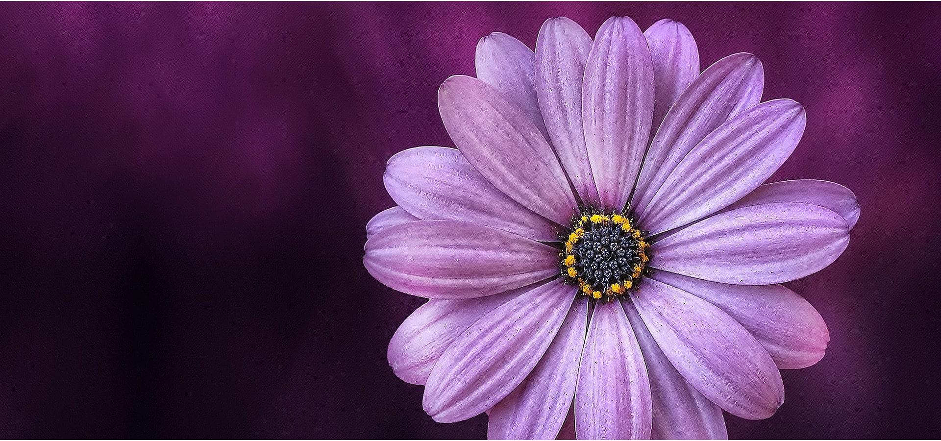 pink flower on purple background